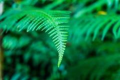 垂悬在热带密林的一棵绿色蕨的叶子 库存图片