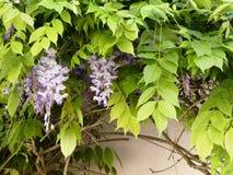 垂悬在白色墙壁上的紫藤绽放 免版税库存照片