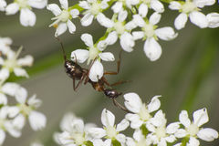 垂悬在白花的蚂蚁 免版税图库摄影