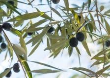 垂悬在的橄榄树southen西班牙 库存图片