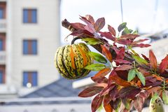 垂悬在秋叶分支的明亮的南瓜  库存照片