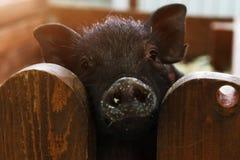 垂悬在篱芭和神色的逗人喜爱的猪在照相机 免版税库存图片