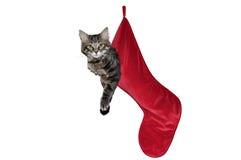 垂悬在红色圣诞节长袜的猫 免版税库存照片