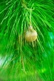 垂悬在绿色自然白枞树枝的金黄圣诞树球 新年贺卡海报 图库摄影