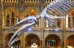 垂悬在自然历史博物馆的主要画廊的蓝鲸骨骼在伦敦英国-定调子1-11-2018的HDR 免版税库存照片