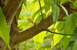 垂悬在芒果树的变色蜥蜴在庭院里 免版税库存图片