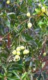 垂悬在芒果树的未成熟的印地安人亚尔方索芒果 免版税库存照片