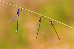 垂悬在草茎的三只蜻蜓 免版税库存图片