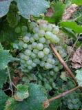 垂悬在葡萄树的美丽的成熟白葡萄 免版税库存照片