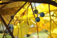 垂悬在藤的三个葡萄 库存照片