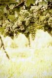 成熟白色蕾斯霖葡萄 库存照片