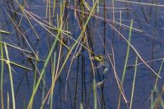垂悬在里德的北池蛙 图库摄影