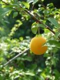 垂悬在野生李树的黄色布拉斯李树李子 免版税库存图片