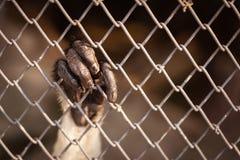垂悬在铁锈铁栅栏的猴子手 免版税库存图片
