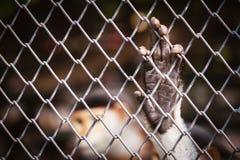 垂悬在铁锈铁栅栏的猴子手 免版税库存照片