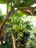 垂悬在香蕉树的绿色大香蕉 免版税库存照片
