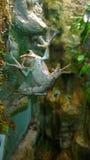 垂悬在玻璃的青蛙 免版税库存图片