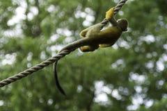 垂悬在绳索的共同的松鼠猴子 免版税库存照片