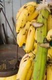 垂悬在他们的词根的香蕉 库存图片