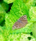 垂悬在绿色叶子(锦紫苏)的棕色蝴蝶顶视图 免版税库存图片
