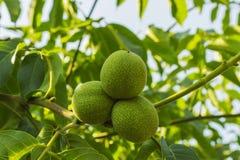 垂悬在a的核桃三年轻绿色果子 免版税库存照片