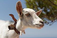 垂悬在Monolithos城堡,罗得岛海岛附近的山羊 库存图片