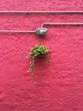 垂悬对桃红色墙壁的植物 库存图片