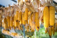垂悬或自温室外的干燥黄色玉米棒子 免版税库存照片