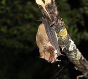 垂悬晚的棒(蝙蝠科serotinus)颠倒 免版税库存照片