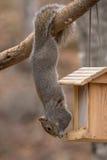 垂悬由尾巴的杂技灰色灰鼠 库存照片