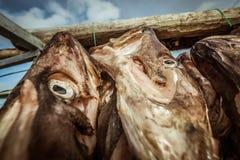 垂悬由干燥决定的盐渍鳕鱼 免版税库存照片