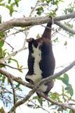 垂悬由适于抓住尾巴的山cuscus 免版税库存照片