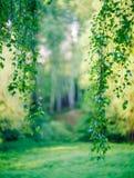 垂悬的下来桦树分支 库存图片