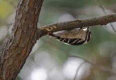 垂悬的啄木鸟 免版税图库摄影