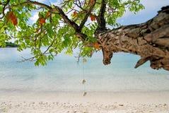 垂悬的壳树枝 免版税库存照片