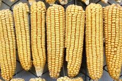 垂悬的干燥玉米连续 免版税图库摄影