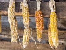 垂悬的干玉米棒子 免版税图库摄影
