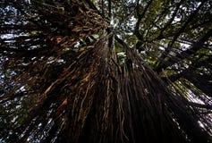 垂悬的树根在天空中 库存图片
