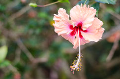 垂悬的桃红色木槿花 库存照片