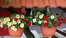垂悬的篮子种植与喇叭花 图库摄影
