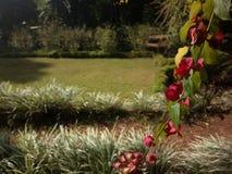 垂悬的红色花在庭院里 库存照片