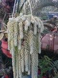 垂悬的罐植物 库存照片