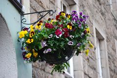 垂悬的罐蝴蝶花在爱丁堡,苏格兰 库存图片
