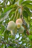 垂悬的芒果特写镜头,芒果领域,有太阳光的芒果农场 库存照片