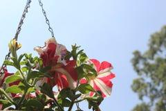 垂悬的花盆 免版税库存图片