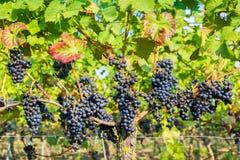 垂悬的蓝色葡萄束在葡萄园里 免版税库存照片