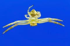 垂悬的螃蟹蜘蛛 库存照片