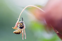 垂悬的黄蜂 库存图片