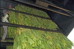垂悬的Burley烟草在谷仓 库存图片