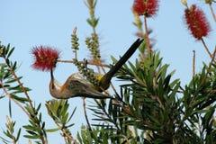 垂悬的sunbird 图库摄影